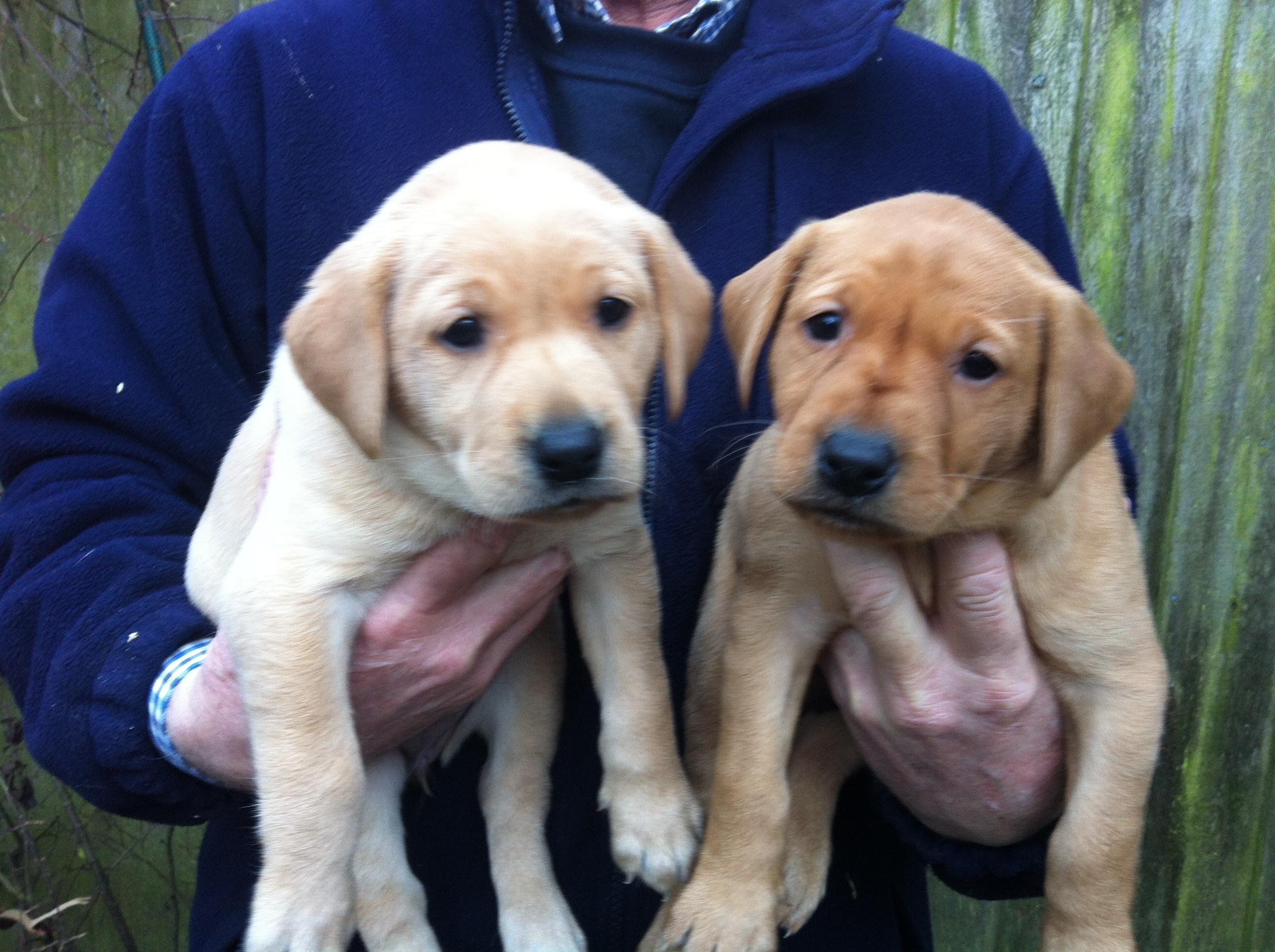 Cocker spaniel and labrador puppies for sale | Norfolk