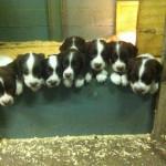 8 Marshall sired pups
